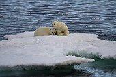 Polar bear cubs barely weaned on an iceberg Canada