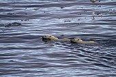 Polar bear swimming among ice bloe blocks Canada