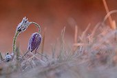 Pasqueflower in the chill in the spring in Alsace France