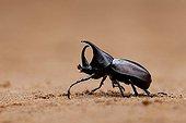 Rhinoceros Beetle in Laos
