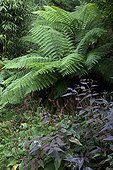 Tree fern and knotweed 'Red Dragon' in a garden