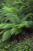 Tree fern in a garden