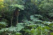 Tree fern and gunneras in a garden