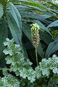 Blessed milkthistleand pineapple lily in a garden