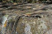 Chihuahuan Spotted Whiptail Chiricahua mountains Arizona