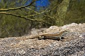 Sonoran Spotted Whiptail Arizona
