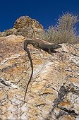 Western Whiptail Lizard Male in the Panamint Range USA