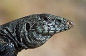 Western Whiptail Lizard male Panamint Range USA