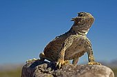 Desert horned Lizard Death Valley NP California USA