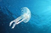 Phosphorescent Jellyfish, Mediterranean Sea / (Pelagia noctiluca)