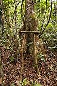 Sloanea buttress root Mont Koghis Nouvelle Calédonie