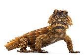 Armadillo Spiny-tailed Lizard in studio ; Origin :  South africa