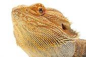 Portrait of a Central Bearded Dragon in studio ; Origine : Australia
