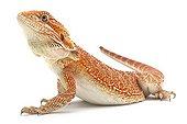 Central Bearded Dragon in studio ; Origine : Australia