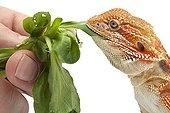 Central Bearded Dragon fed by hand ; Origine : Australia