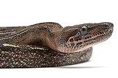 Portrait of a Boa constrictor 'Leopard' in studio ; Origin :  America