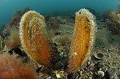 Big Pen Shell, Piran, Adriatic Sea, Slovenia