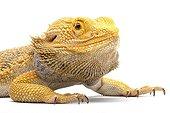 Portrait of a Central Bearded Dragon in studio ; Origin : Australia