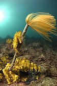 Hippocampe moucheté Spirographe de Spallanzani ; Long-snouted Seahorse hang on Feather Duster Worm, Piran, Adriatic Sea, Slovenia