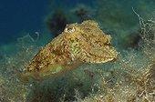 Common Cuttlefish, Pag Island, Adriatic Sea, Croatia