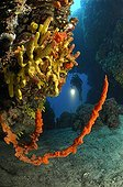 Axinelle commune ; Red Sponge, Pag Island, Adriatic Sea, Croatia