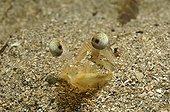 Penaeid Shrimp, King Prawn, Piran, Adriatic Sea, Slovenia