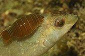 Labre Nerocila ; Isopod Parasit on Wrasse, Piran, Adriatic Sea, Slovenia