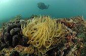 Anémone de mer ; Snakelocks Anemone, Piran, Adriatic Sea, Slovenia