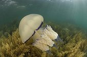 Barrel Jellyfish, Piran, Adriatic Sea, Slovenia