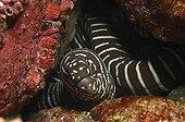 Anguille Murène zébrée Ostéichthyen ; Zebra Moray Eel, Malpelo Island, Pacific Ocean, Colombia