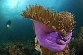 Accumulation of Mushroom Corals, Lembeh Strait, North Sulawesi, Indonesia