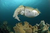 Broadclub Cuttlefish, Lembeh Strait, North Sulawesi, Indonesia