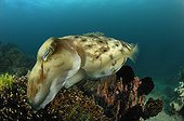 Broadclub Cuttlefish care for ist Eggs hidden in Corals, Lembeh Strait, North Sulawesi, Indonesia