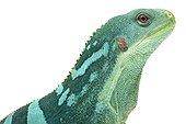 Portrait of a Lau Banded Iguana in studio ; Origin : Fiji, Vanuatu