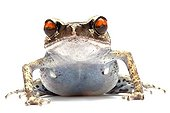 Portrait of a Spotted Litter Frog in studio ; Origin : Southeast Asia