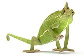 Yemeni Chameleon in studio ; Origin : Yemen