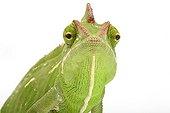 Portrait of a Yemeni Chameleon in studio ; Origin : Yemen