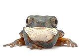 Portrait of a Orange-legged monkey frog in studio ; Origin: Pantanal