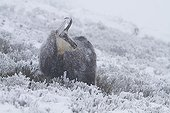 Chamois in a snowstorm in winter Vosges France