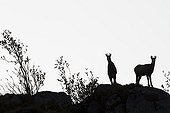 Chamois sur des rochers en contre jour Vosges France