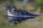 Portrait of a common toad in water in the spring France