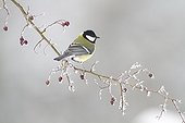 Great tit on a frosted branch of sweetbriar France