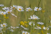 Carpet of oxeye daisies in bloom in the spring France