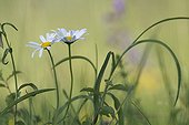 Oxeye daisies in bloom in the spring France