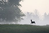 Roe Deer jumping in a meadow at dawn Vosges France