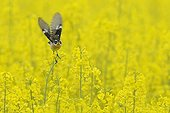Whinchat near a field of rapeseed in flower Vosges France