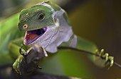 Portrait of Fijian iguana in vivarium France