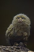 Pygmy Marmoset on a branch