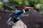 Smyrna Kingfisher on rock in a tropical greenhouse