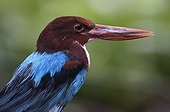 Portrait of Smyrna Kingfisher on rock in tropical greenhouse